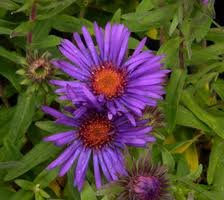 vivace_ASTER_NOV_ANGL_PURPLE_DOME_2.jpg