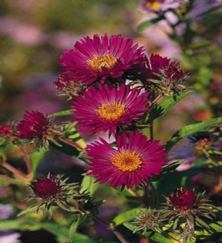 vivace_ASTER_NOV_ANGL_SEPTEMBER_RUBY.jpg