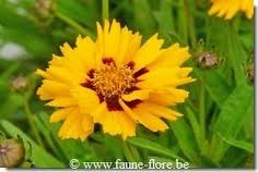 vivace_COREOPSIS_GRAND_EARLY_SUNRISE.jpg