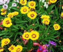 vivace_COREOPSIS_GRAND_EARLY_SUNRISE_2.jpg