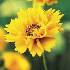vivace_COREOPSIS_GRAND_SUNRAY.jpg