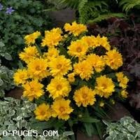 vivace_COREOPSIS_GRAND_SUNRAY_2.jpg