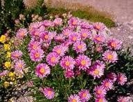 vivace_ASTER_ALPINUS_HAPPY_END_2.jpg