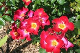 rosier_RED_FLOWER_CARPET_2.jpg