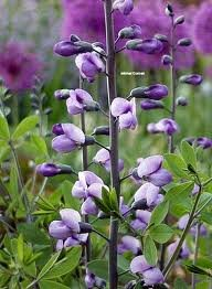 vivace_BAPTISIA_PURPLE_SMOKE_2.jpg