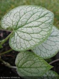 vivace_BRUNNERA_MACROPHYLLA_LOOKING_GLASS_2.jpg