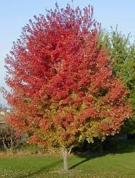 ACER_FREEM_AUTUMN_BLAZE.jpg