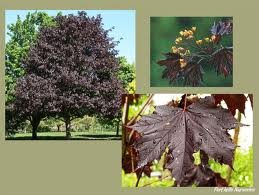 ACER_PLAT_ROYAL_RED_2.jpg