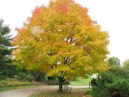 ACER_SACCHARUM_GREEN_MOUNTAIN_2.jpg