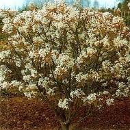 AMELANCHIER_CAN_BALLERINA_2.jpg