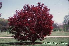 ACER_PALM_BLOODGOOD_2.jpg