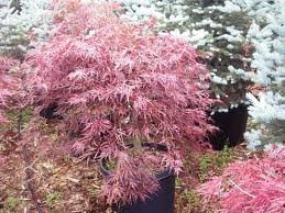 ACER_PALM_DISS_RED_DRAGON.jpg