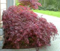 ACER_PALM_DISS_RED_DRAGON_2.jpg