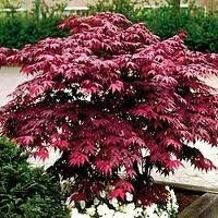 ACER_PALM_EMPEROR_ONE.jpg