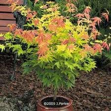 ACER_PALM_ORANGE_DREAM.jpg
