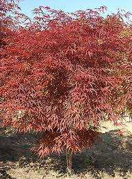 acer_palm_red_spider_2.jpg