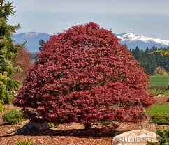 acer_palm_rhode_island_red.jpg