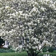 AMELANCHIER_CANADENSIS.png