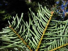 ABIES_CONCOLOR_2.jpg