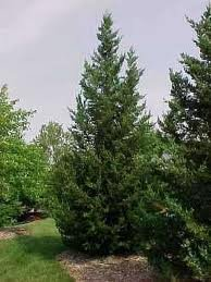 JUNIPERUS-CHIN-FAIRVIEW_1.jpg
