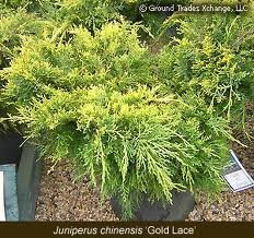 JUNIPERUS_CHIN_GOLD_LACE.jpg