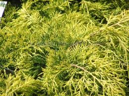 JUNIPERUS_CHIN_GOLD_LACE_2.jpg