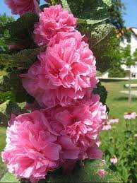 ALCEA_ROSEA_CHATER__S_DOUBLE_ROSE.jpg