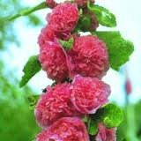 ALCEA_ROSEA_CHATER__S_DOUBLE_ROSE_2.jpg