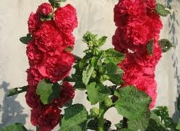 ALCEA_ROSEA_CHATER__S_DOUBLE_ROUGE_2.jpg