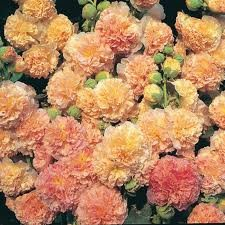 ALCEA_ROSEA_PEACHES__N_DREAMS.jpg