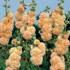 ALCEA_ROSEA_PEACHES__N_DREAMS_2.jpg