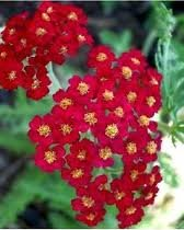 ACHILLEA_MILL_RED_BEAUTY_2.jpg