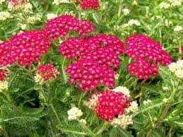 achillea_mill_cerise_queen.jpg