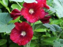 vivace_ALCEA_ROSEA_MARS_MAGIC.jpg