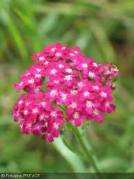 achillea_mill_cerise_queen_2.jpg